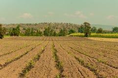 Suikerriet met hemel en wolk Stock Fotografie