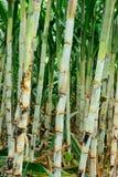 Suikerriet na halfjaarlijks Royalty-vrije Stock Afbeelding