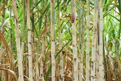 Suikerriet na installatie Stock Foto
