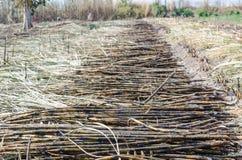 Suikerriet op gebied Stock Fotografie