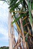 Suikerriet op volledig gebied royalty-vrije stock afbeelding