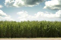 Suikerriet tegen Dag Stock Afbeeldingen