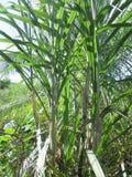 Suikerriet voor een gelukkige dag! royalty-vrije stock foto's