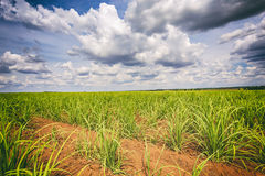 Suikerrietaanplanting en bewolkte hemel - coutryside van Brazilië Royalty-vrije Stock Afbeelding