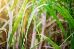Suikerrietblad op groene achtergrond royalty-vrije stock afbeeldingen