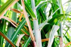 Suikerrietblad op groene achtergrond royalty-vrije stock afbeelding