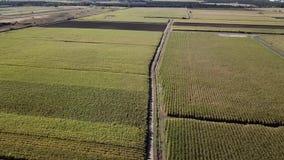 Suikerrietgebied stock videobeelden