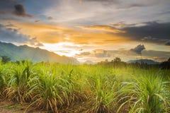 Suikerrietgebied Royalty-vrije Stock Afbeeldingen