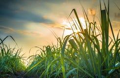 Suikerrietgebied Stock Fotografie