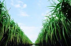 Suikerrietgebied en sleep Royalty-vrije Stock Fotografie