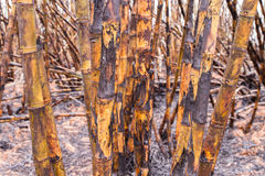 Suikerrietgebied het branden Stock Foto