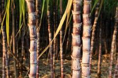 Suikerrietinstallaties bij gebied Royalty-vrije Stock Afbeelding