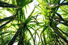 Suikerrietinstallaties het groeien Royalty-vrije Stock Foto's