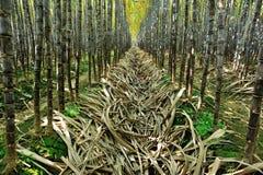 Suikerrietinstallaties het groeien Stock Afbeeldingen
