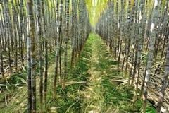 Suikerrietinstallaties het groeien Stock Foto's