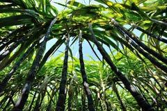 Suikerrietinstallaties het groeien Royalty-vrije Stock Foto
