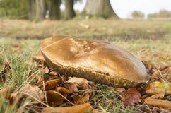 Suillus bovinus mushroom. Stock Image