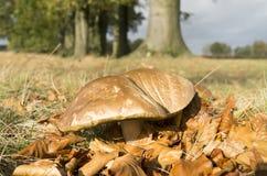 Suillus bovinus mushroom. Stock Images