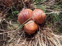 Suillus - cogumelo comestível eautiful do ² de Ð Imagem de Stock Royalty Free
