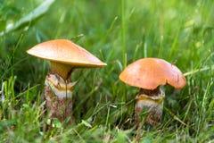 Suillus commestibile dei funghi nella fine dell'erba su fotografie stock