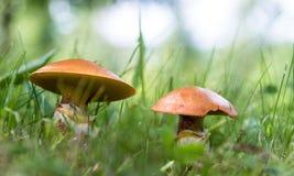 Suillus commestibile dei funghi nella fine dell'erba su immagine stock libera da diritti