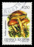 Suillus granulatus, essbarer Pilz der Klasse Suillus Lizenzfreies Stockbild