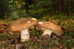 Suillus luteus grzyb z lasowymi drzewami w tle obrazy royalty free