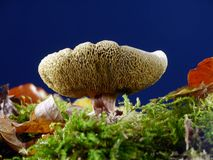 Suillus luteus Stock Photo