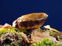 Suillus luteus Royalty Free Stock Images