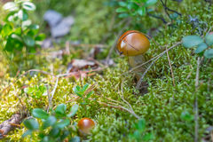Suillus mushrooms with brown hat grows in moss and cranberries Royalty Free Stock Images