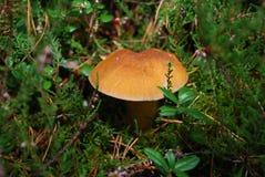 Suillus variegatus velvet bolete or variegated bolete grow in the moss. Stock Image