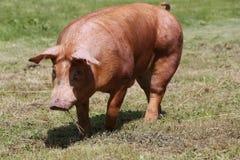 Suinicoltura che alza allevamento nella scena rurale della fattoria degli animali Fotografia Stock Libera da Diritti