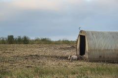 Suinicoltura sui bassi del sud nel paesaggio di Sussex Fotografia Stock Libera da Diritti