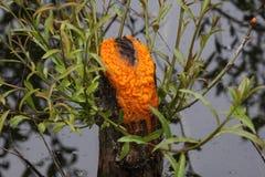 Suintement de la boue orange Photos libres de droits
