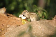 Suirrel äta Arkivfoton