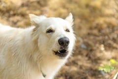 Suisse blanc berger Chien в лесе лета собака завывает и лаяет стоковая фотография rf