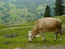 Suisse de vache Photos stock