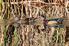 The suitor in pursuit. A brightly colored male Wood Duck pursuing a female on a glassy sunlit lake stock photos