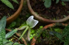 Sukhakulii do Paphiopedilum, sukhakulii de Paph Foto de Stock