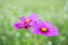 Pink cosmos flowers background Stock Image
