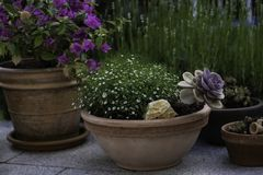 Sukkulenten Tontopf Garten. Fruehling bluehend stock image