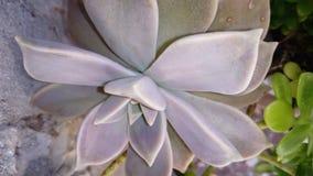 Sukulentów dekoracyjni kwiaty Obrazy Stock
