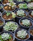 Sukulent rośliny w pepiniery szklarni (echeveria) zdjęcia royalty free