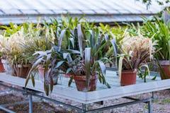 Sukulent rośliny w garnkach Obraz Royalty Free