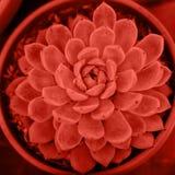 Sukulent tonował w modnym kolorze rok 2019, odgórny widok Echeveria Tłustoszowata roślina, zakończenie w górę fotografia royalty free