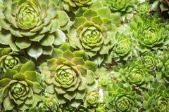 Sukulent zasadza zbliżenie - kaktusowe rośliny makro- Fotografia Royalty Free