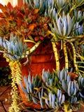 Sukulentu upadek nad krawędzią kwiatu garnek Obraz Royalty Free