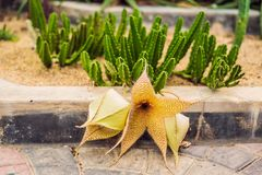 Sukulenty kaktusy na piaskowatej ziemi Trend kaktusowy pojęcie Obraz Stock