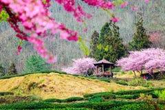 Sukura blossom in Taiwan Stock Image