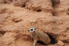 Sul - africano Meerkat fotografia de stock